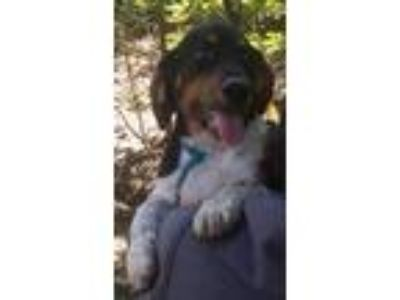 Adopt Fannie a Tricolor (Tan/Brown & Black & White) Beagle / Mixed dog in