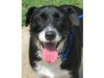 Adopt Callie a Black Border Collie / Mixed dog in Salina, KS (25104818)