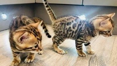 We have 2 Bengal kittens that are ready for their indoor forever home.