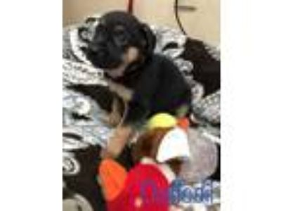 Adopt Daffodil a Black Shepherd (Unknown Type) / Mixed dog in Buellton
