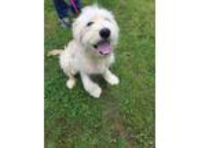 Adopt Knox a Golden Retriever, Poodle