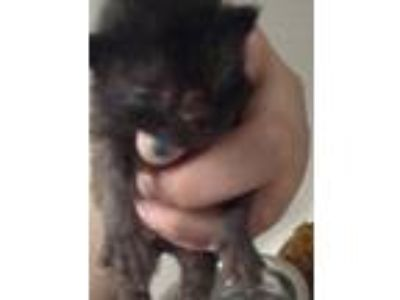 Adopt Bomber a All Black Domestic Shorthair / Domestic Shorthair / Mixed cat in