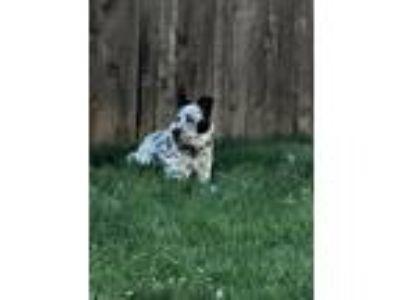 Adopt Finnigan a Black - with White Border Collie / Australian Cattle Dog /