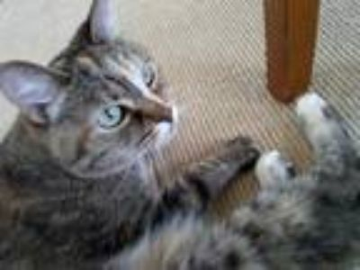 Adopt Sapphire a Tortoiseshell American Shorthair cat in Beavercreek
