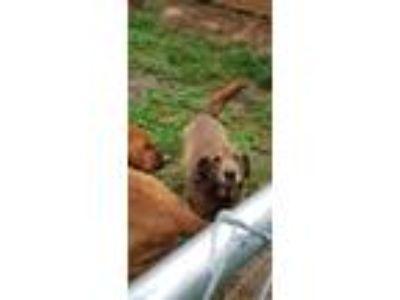 Adopt Kairo a Brown/Chocolate Labrador Retriever / Spitz (Unknown Type