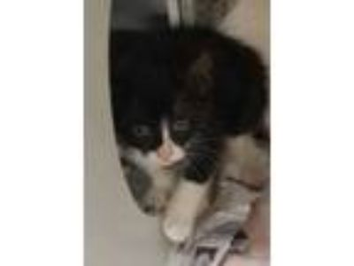 Adopt Beverly a All Black Domestic Shorthair / Domestic Shorthair / Mixed cat in
