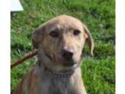 Adopt Orchid a Collie, Labrador Retriever