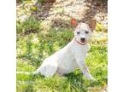 Adopt King George~Adopted!! a Australian Cattle Dog / Blue Heeler