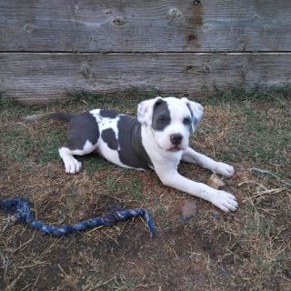 American Bully (Classic) Pitbull mix puppy