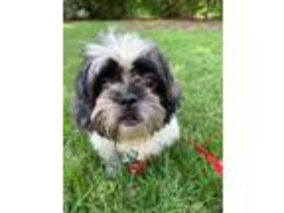 Adopt Flashing Thunder a Shih Tzu