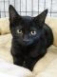Liberty Domestic Short Hair Cat