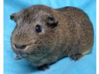 Adopt Dudley a Brown or Chocolate Guinea Pig small animal in Highland