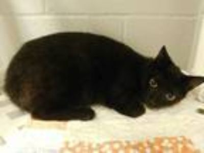 Adopt Barn Cat-Siloam Springs a Domestic Short Hair
