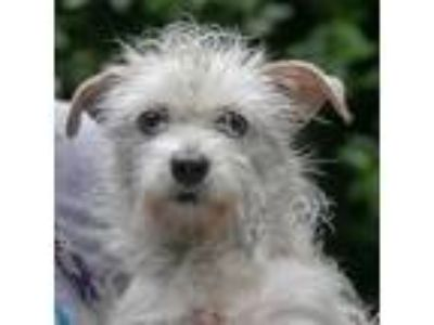 Adopt Bismouth a Terrier, Mixed Breed