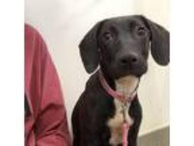 Adopt Star a Black Labrador Retriever dog in Lynchburg, VA (25480462)