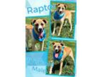 Adopt Raptor a Tan/Yellow/Fawn - with White Shepherd (Unknown Type) / Mixed dog