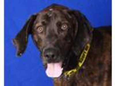 Adopt OTIS a Plott Hound, Mixed Breed