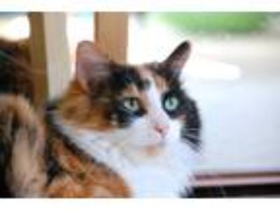 Adopt Kitty a Calico or Dilute Calico Calico / Mixed cat in Redondo Beach