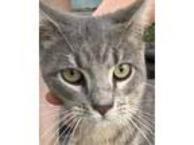 Adopt Max a Gray, Blue or Silver Tabby American Shorthair cat in Miami