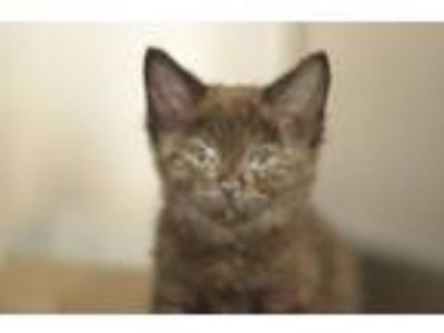 Adopt Straw-Berry a Domestic Short Hair