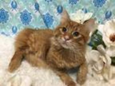 Adopt Scoop a Orange or Red Tabby Maine Coon cat in Westmont, IL (25303795)