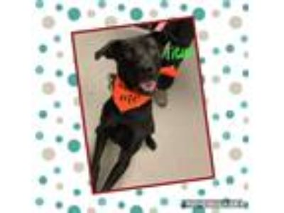 Adopt Titus a Black Labrador Retriever dog in Dickson, TN (25857567)
