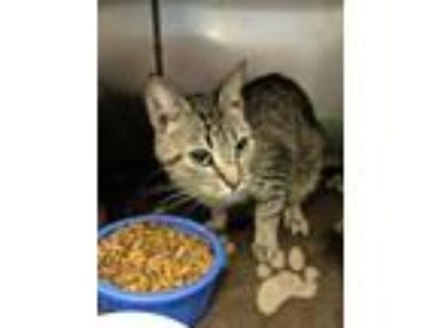 Adopt Cara a Domestic Short Hair