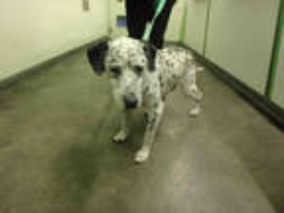 Adopt HALO a White - with Black Mixed Breed (Medium) / Dalmatian / Mixed dog in
