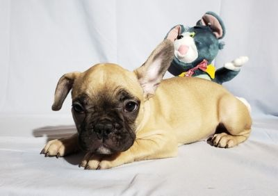French Bulldog PUPPY FOR SALE ADN-105769 - FrenchieZ PuP