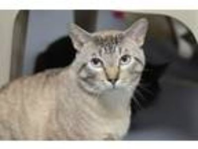 Adopt Donner 172514 a Domestic Short Hair, Siamese