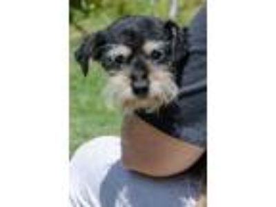 Adopt Howard a Schnauzer, Terrier