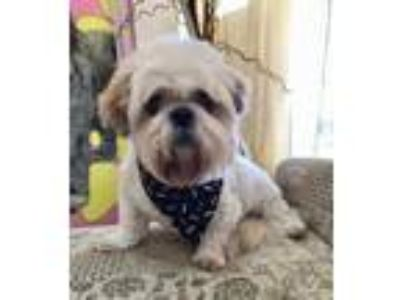 Adopt King a White - with Tan, Yellow or Fawn Tibetan Terrier / Lhasa Apso /