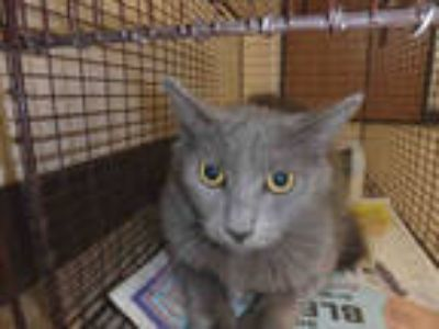 Adopt SADIE a Gray or Blue Domestic Shorthair / Mixed (short coat) cat in Los