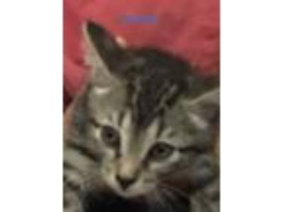 Adopt Pebbles a Brown Tabby Domestic Shorthair (short coat) cat in Weatherford