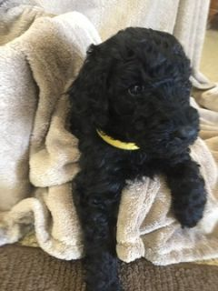 Labradoodle PUPPY FOR SALE ADN-93069 - Lovable F1b Labradoodle puppies