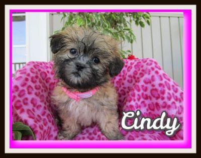 Cindy Female Shih-Chon Teddy Bear