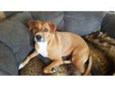 Adopt Samantha a Red/Golden/Orange/Chestnut - with White Labrador Retriever /