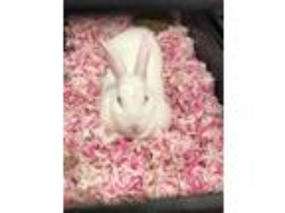 Adopt Puffer a White Other/Unknown / Other/Unknown / Mixed rabbit in Irving