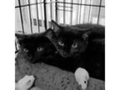 Adopt Silky Beauties Lola and Dakota! a Domestic Short Hair