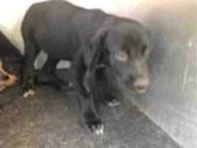 Adopt QUEEN a Black Labrador Retriever / Mixed dog in Grand Prairie