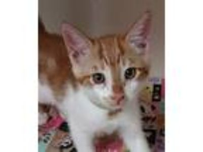 Adopt Mitch a Domestic Shorthair / Mixed cat in Atascadero, CA (25566056)