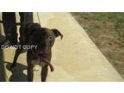 Adopt Evan a Brown/Chocolate Pit Bull Terrier / Mixed dog in Rocky Mount