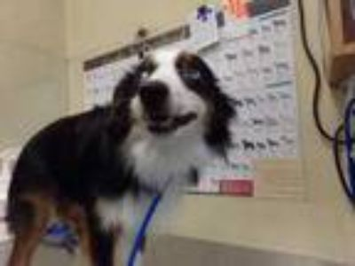 Adopt Kefka a Black Australian Shepherd / Mixed dog in Houston, TX (25863538)