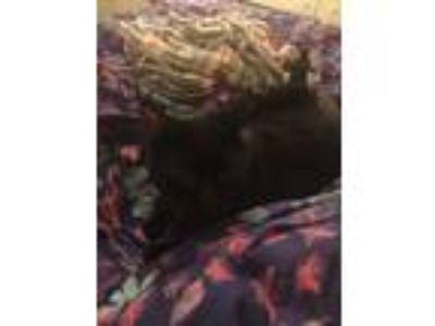 Adopt Sinkitty a All Black American Shorthair cat in Plant City, FL (24728940)