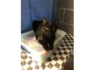 Adopt Spencer a Domestic Short Hair