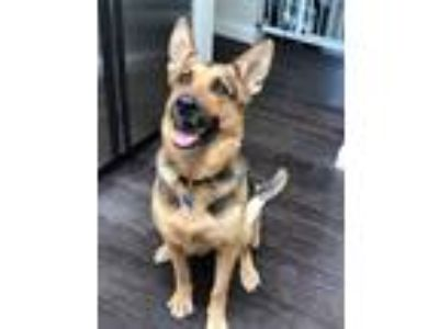 Adopt Nettie a Tan/Yellow/Fawn - with Black German Shepherd Dog / Mixed dog in