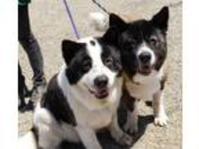 Adopt Tia and Lobo a Akita / Mixed dog in Romoland, CA (24979951)