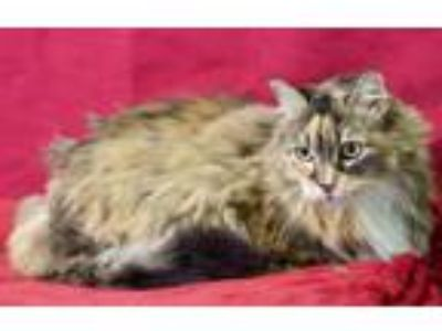 Adopt Cinnabon a Domestic Long Hair, Norwegian Forest Cat
