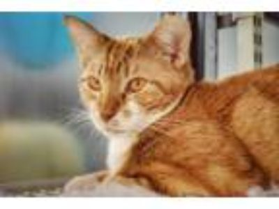 Adopt Colby a Orange or Red (Mostly) Domestic Shorthair / Mixed (short coat) cat