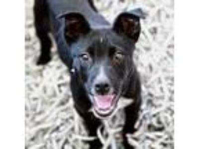 Adopt Bosco a Black Feist / Mixed dog in Alpharetta, GA (25142182)